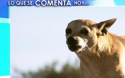 Récord de perros chihuahua abandonados en Phoenix