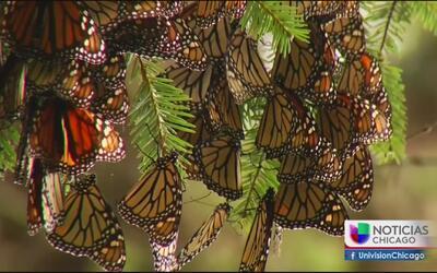 Ley para preservar a las mariposas Monarca