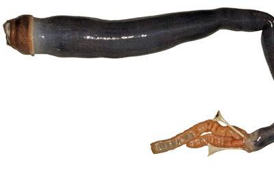 Imágenes del gusano gigante vivo que encontraron en aguas de Filipinas