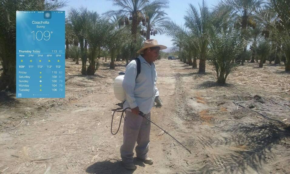Don Baltazar limpia yerba y semillas secas en las datileras de Coachella.