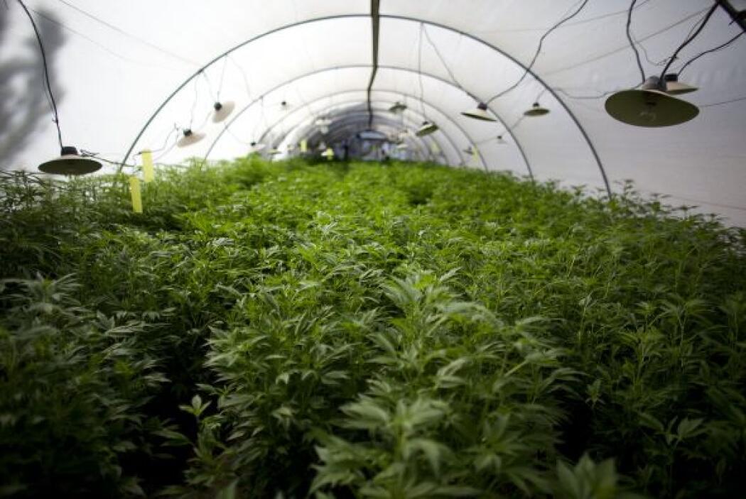 ¿TOMATES O MARIHUANA?  Detenida por cultivar marihuana en la terraza de...