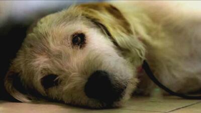 Un perro ecuatoriano 'Arthur' salta a la fama en las redes por su lealtad