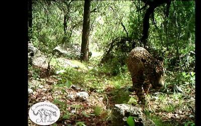 Nuevo video muestra al único jaguar salvaje de Estados Unidos