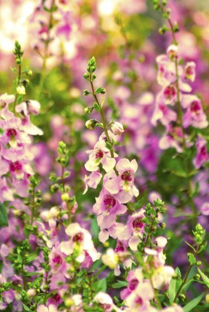 5) Angelonias. Si vas a plantar esta pequeña y colorida planta, asegúrat...