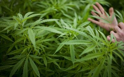 El uso legal de la marihuana medicinal en Florida se demora y los usuari...