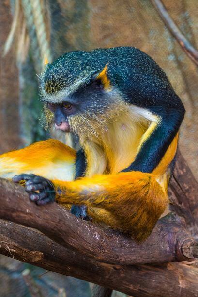 Los distintivos colores azules y amarillos son compartidos por el animal...