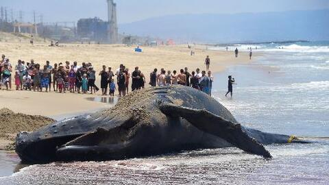 Ballena muerta en la playa Dockweiler en el condado de Los Ángeles.