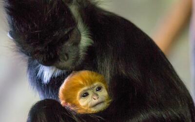 Nace un nuevo orangután en el zoológico Lincoln