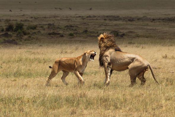 Esta pareja peleó en la Reserva Nacional de Masai Mara, en Kenia.