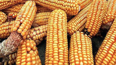 Energías Renovables maiz.jpg
