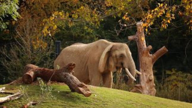 La elefanta murió a la edad de 45 años por complicaciones en su salud