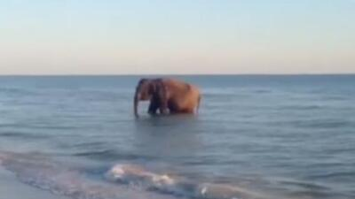 Un elefante fue captado en video mientras se encontraba en una playa del...