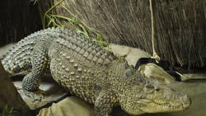 """""""María"""" pertenece al grupo de cocodrilos cubanos que están en peligro de..."""
