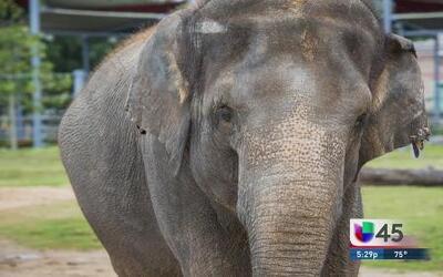 ¡Elefanta tiene que bajar 500 libras para dar a luz!