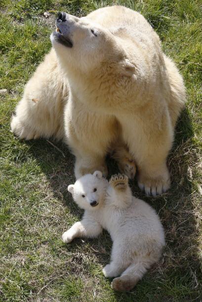 Estos mamíferos son unos de los más grandes carnívoros sobre la tierra.