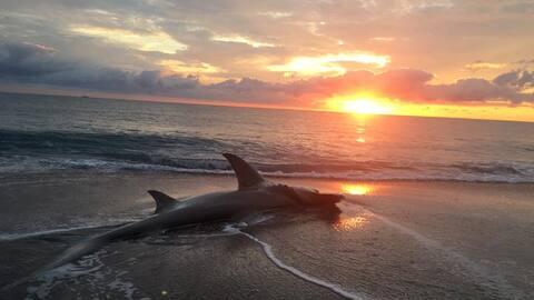 El tiburón fue encontrado a primeras horas de la mañana de...