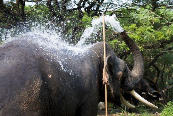 El campamento de elefantes Punnathur Kotta está reconocido como uno de l...