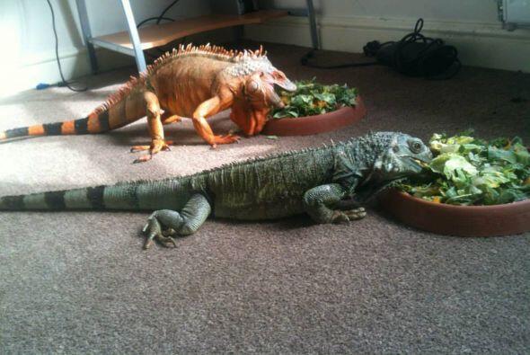 Shaun Dixon prefiere pasar tiempo con sus iguanas.
