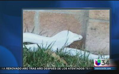 ¡Ya capturaron a la cobra blanca!