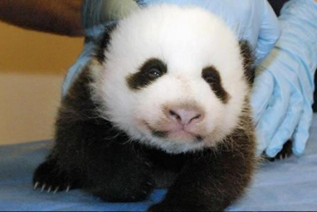 Bao Bao también pertenece a China.  Por ahora, el cachorro solo puede se...