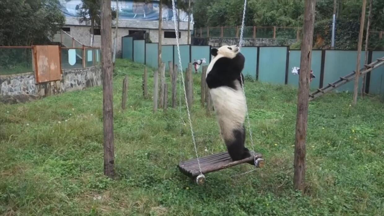 Mira cómo este panda se entretiene con un columpio