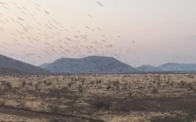 La hermosa coreografía de una bandada de pájaros en Sudáfrica