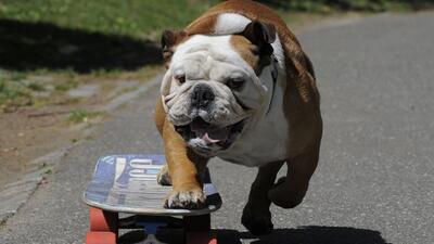 Tillman, el perro skater más rápido del mundo.