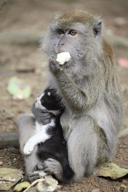 Lo mantiene y alimenta como si fuera la madre.