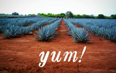 Plantas de agave azul tequilana weber