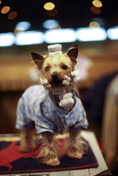 Por ejemplo, a este yorkshire terrier le arreglaban sus bigotes para est...