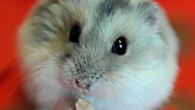 Mascotas ratas