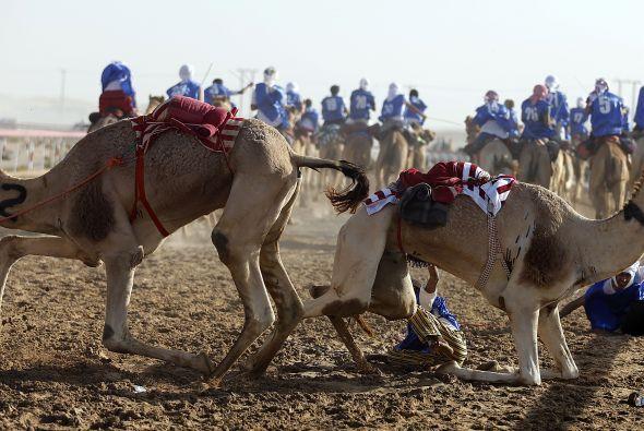 Los camellos paquistaníes son los más bellos, y algunos comerciantes int...