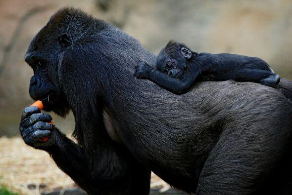 Esta mamá gorlila deja a su tierno bebé dormir en su lomo....