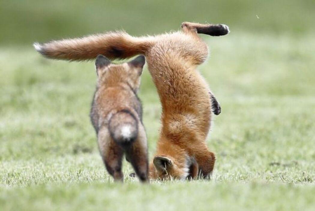Los pequeños saltan y saltan como parte de su entrenamiento para cazar