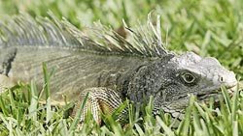 Por el frío, las iguanas se desmayan en el sur de Florida ddfeb6828cb54b...