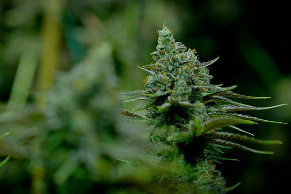 El uso de la marihuana es uno de los temas más controversiales de nuestr...