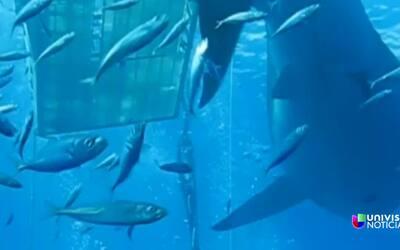 """""""Deep Blue"""", el tiburón blanco más grande que se ha filmado en el mundo"""
