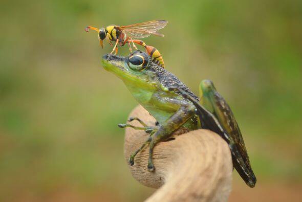 ¡Pero la rana no saltó o se movió para ahuyentar al...