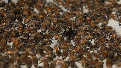 Cuando las abejas exploradoras encuentran comida, bailan para avisar a...
