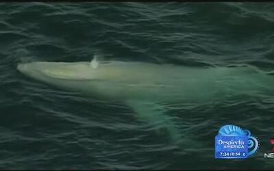 Encontraron en la costa de Australia una ballena albina