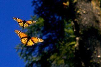 Mariposas Monarca.