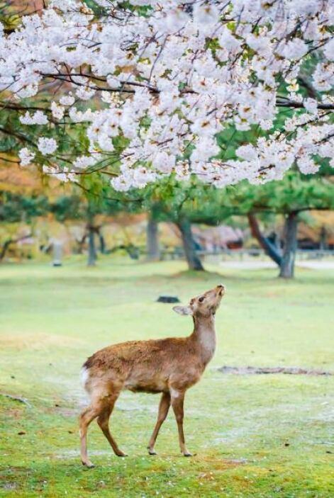 También conocida como la flor de cerezo, es símbolo de la cultura japonesa.