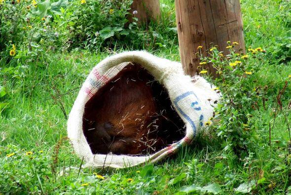 Los orangutanes también utilizaron los sacos para cortar peque&nt...