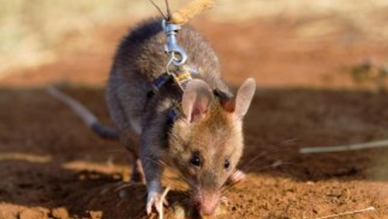 Las ratas gigantes son originarias de África pero hace algunos años se i...