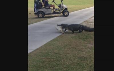 Cocodrilo sorprende a unos golfistas al irrumpir en un campo de Florida...
