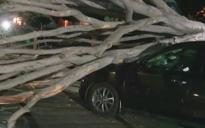 Árboles caídos y otros daños por los fuertes vientos en East Hollywood