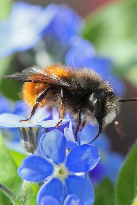 Esta pequeña abeja fue a buscar un poco de polen.