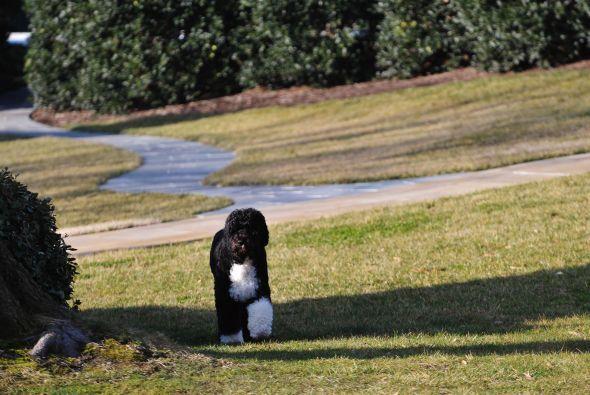Bo, la mascota de los Obama llegó a la Casa Blanca en 2009 y desde enton...