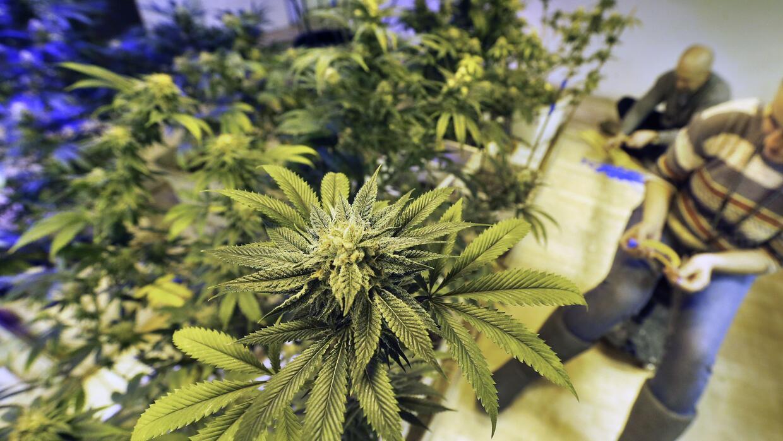 Siembra legal de marihuana en Colorado