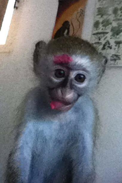 La venta de monos pone en alto riesgo a esta especie pues los vendedores...